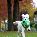 golden retriever puppy fotoshoot